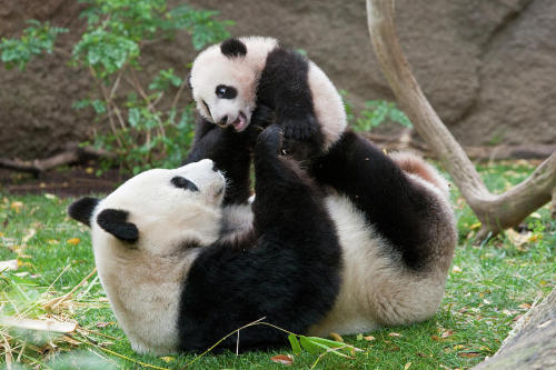 marksbirch:  Someone said I should have more pandas on my blog, so here you go…it's pandas!