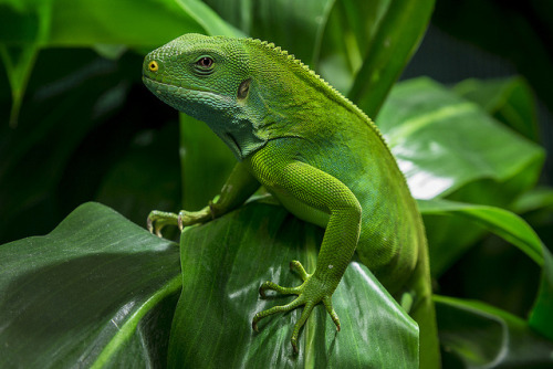 sdzoo:  Fiji banded iguana by our talented photographer Ken Bohn.
