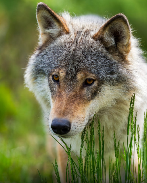 "wolf-facts: "" Photo by: Infinite Blue Wolf News and Facts """