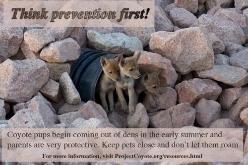 llbwwb:  PSA:Think prevention by ProjectCoyote.Reblog to save Coyotes….and your own Pets too:)  Take care of your pets, but remember that while urban coyotes do occasionally get pets, the primary components of their diet are rats and trash. Reducing rats, with out poison, is a public service.