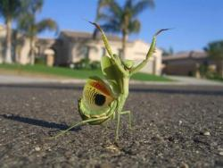 lizardking90:  Beautiful dancing mantis -saveourgreen