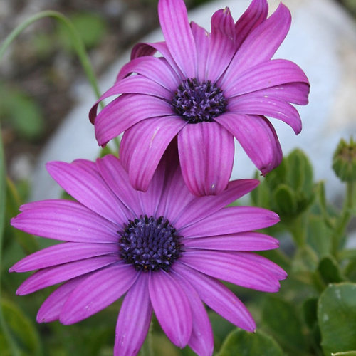 Pink African Daisies The modest, unassuming beauty of the daisy has a playful, childlike character that brings joy and happiness wherever it arrives. The many coloured options of the daisy provide ample opportunity to match this lovely flower to a specific personality. The daisy is the flower associated with April and the Fifth Wedding Anniversary: consider gifts for birthdays, anniversaries, bridesmaids and weddings Follow the link to see all my African Daisy – Single Stem giftsClick the links to see all of my Redbubble African Daisy Paintings,African Daisy Photography, African Daisy Greeting Cards, African Daisy Stickers, African Daisy Tees, andT-Shirts at ArttowearMy artwork, photography and design can be found in my Zazzle Galleries. Check out customizable gifts and collectables at Female Contemporary Art, Arttowear and Rottweiler Gifts Follow links to 3DRose for customizable Photography and Acrylic Art-——————————————————————————————————————————————————Canon Rebel XT 2.3.13-——————————————————————————————————————————————————       *My Images Do Not Belong To The Public Domain. All images are copyright © taiche. All Rights Reserved. Copying, altering, displaying or redistribution of any of these images without written permission from the artist is strictly prohibited -——————————————————————————————————————————————————Osteospermum plants originate from South Africa and the name is derived from the Greek osteon (= bone) and Latin spermum (= seed). Osteospermums belong to the daisy family ( Compositae / Asteraceae), hence their common names: African Daisy or South African Daisy, Cape Daisy and Blue-eyed Daisy. There are about 50 species, native to Africa, 35 species in southern Africa, and southwestern Arabia. They are half-hardy perennials or subshrubs. Therefore they do not survive outdoor wintry conditions, but there is still a wide range of hardiness.-——————————————————————————————————————————————————