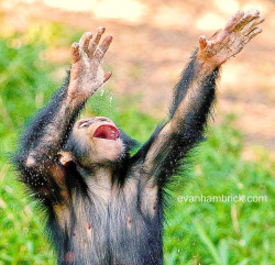 Baby Chimpanzee by Evan Animals on Flickr.Yippie!! #Cute#Nature#Photo