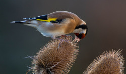 dendroica:  Goldfinch on a teasle (by Paul Tymon)