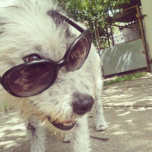 What's up buddies? #cool #dog #cute #summer #sunglasses #awesome