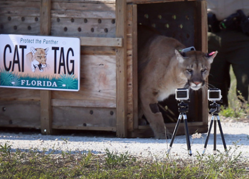 Florida panther springs into the wild After being rescued by wildfire biologists as a kitten, the 2-year-old endangered male panther is finally heading back home to the swamps and forests of southern Florida.