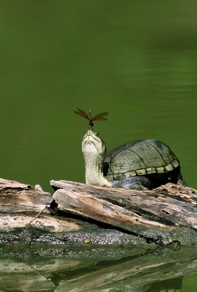 asmereth:  magicalnaturetour:  Mud Turtle with Dragonfly ~ Bill Draker  Two of my favorite things!
