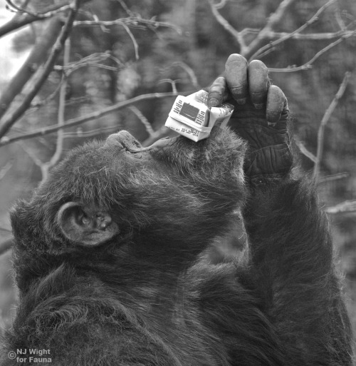 faunachimps:  Happy Birthday Jane Goodall! Binky rasies his juice to toast Jane Goodall on her 79th birthday.