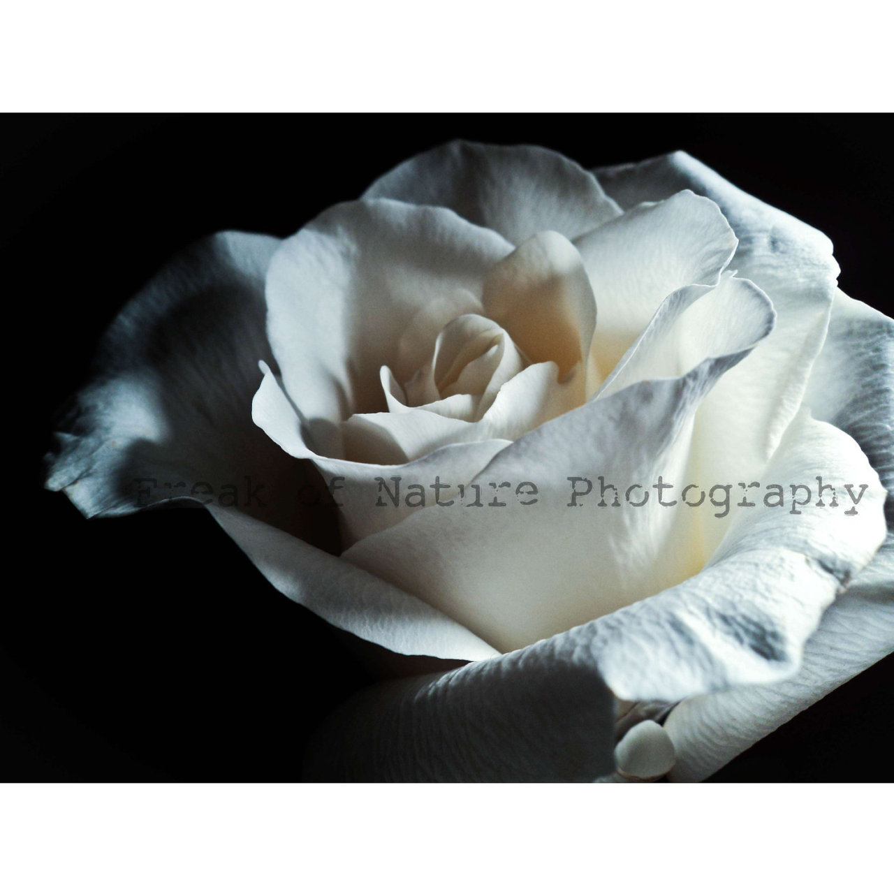 Fine Art Photography White Rose Macro Minimalist Black and White Monochrome - 5.5in x 8.5in by FreakofNaturePhotos (2.00 GBP) Art Print, freakofnaturephotos, Photograph, Photography, Rose, Flower, White Rose, White Flower, White Photograph, Macro Photography, Rose Photo, Black and White, Minimalist