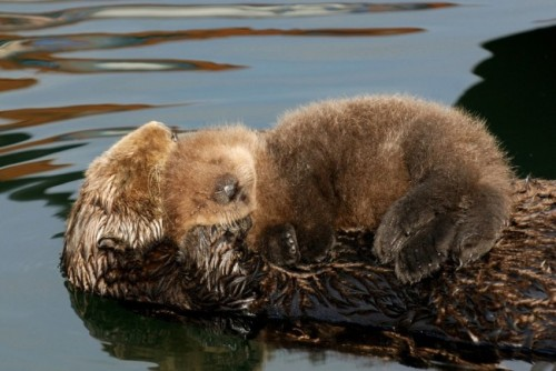 dailyotter:  Otter Pup Curls Up on Mum's Belly Via Monterey Bay Aquarium/©Jim Capwell/www.divecentral.com