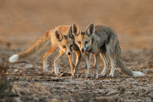 jenn2d2:  Desert Foxes by Yashodhan Bhatia on Flickr.