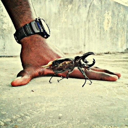 candygaga:  Check out this huge beetle! #beetle #insect #bug