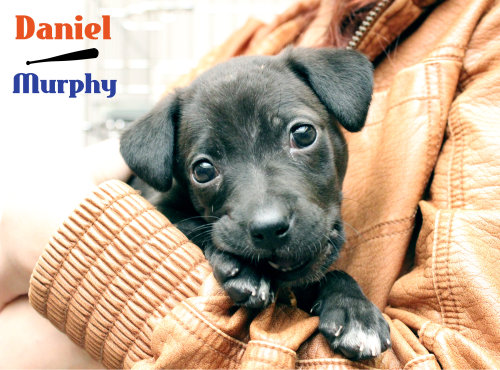Daniel Murphy is up for adoption today! Thanks to our partnership with the Mets on their special Bark In The Park days, we have been able to save the lives of many puppies, kittens, cats and dogs. You can bring your dog to Bark in the Park and sit with fellow dog lovers in the Pepsi Porch. Tickets are priced at $35 for humans and $10 for dogs. All proceeds of the dog tickets and a portion of proceeds from human tickets will benefit us here at North Shore Animal League America. Tickets may have sold out but you can meet us at the next Bark In The Park in September!