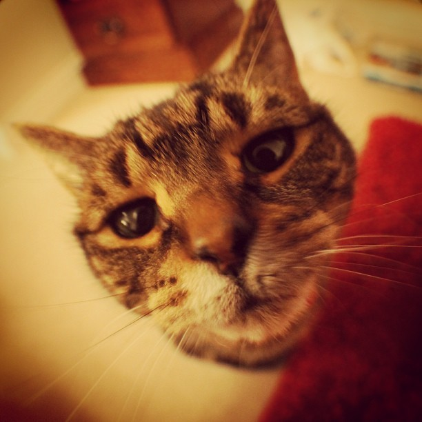 My cat Whisper, she is curious when she sees the camera lense. #catsofinstagram #hat_animalpotrait #neko #cat #kitty I challenge my mum to do better @janettewphotos