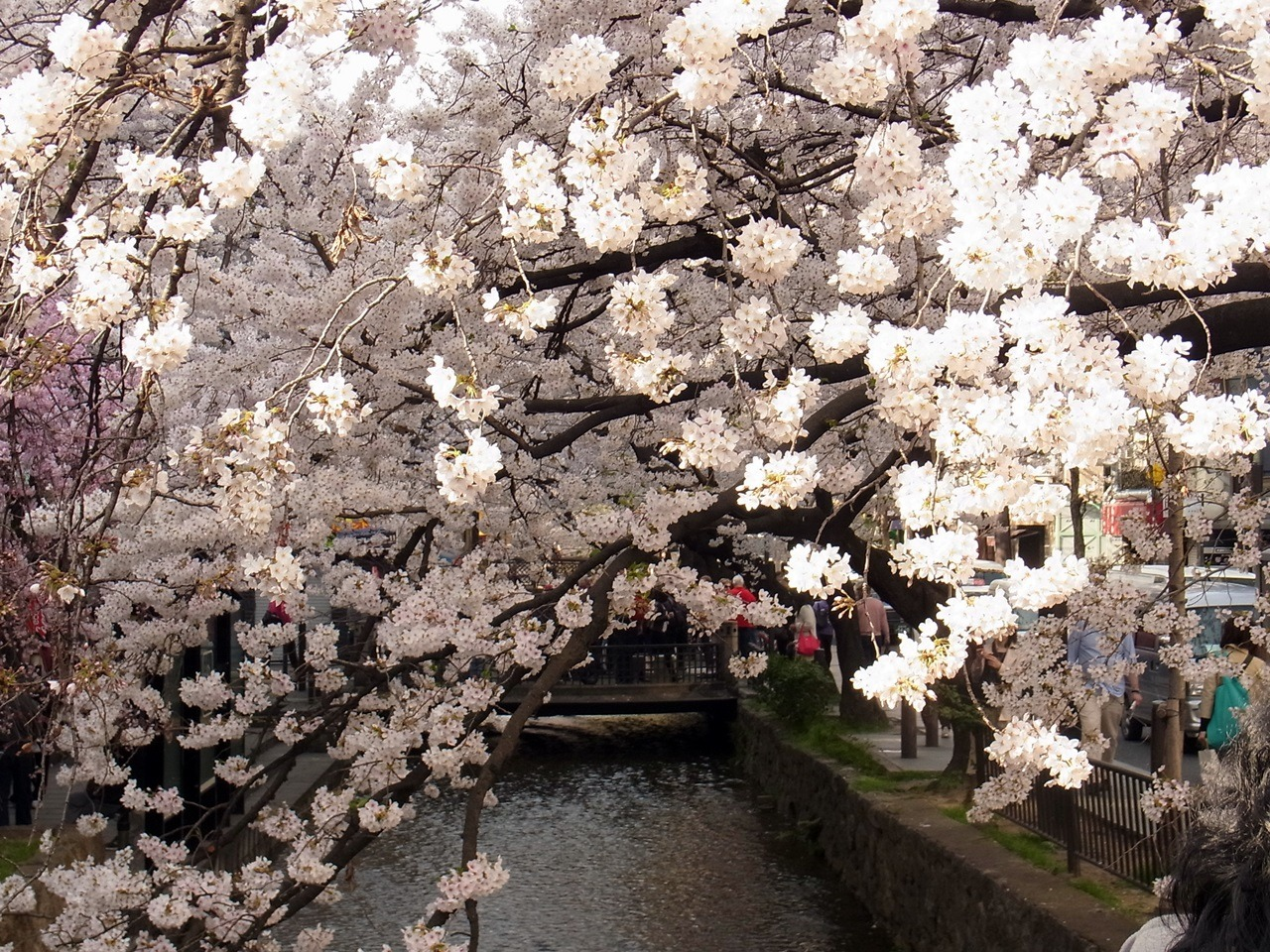 kumako365jp:  cherry blossoms over the river:)