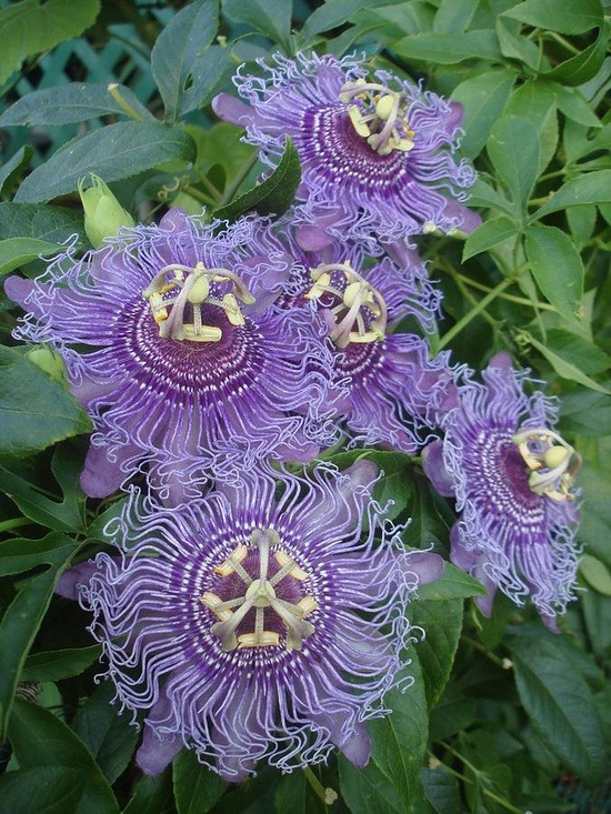 flowersgardenlove:  Passiflora Incense ( Flowers Garden Love