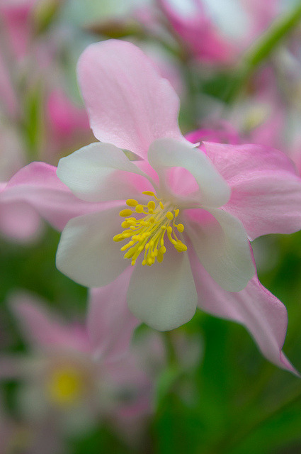 blooms-and-shrooms:  Pink Columbine by eevy24012 on Flickr.
