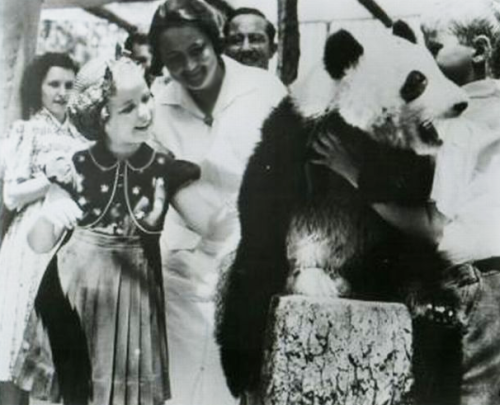 Shirley Temple visits a panda on vacation, 1939. Obviously petting an unrestrained bear was not in her pricey insurance contract!