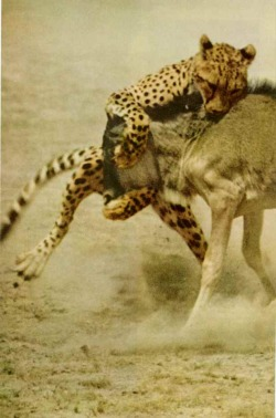 vintagenatgeographic:  A cheetah learning to hunt struggles to wrestle a wildabeest calf to the ground in the Amboseli Game Reserve, Kenya National Geographic | February 1972
