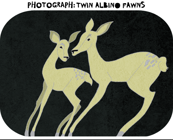 "paperdarts:  Poetry: ""Photograph: Twin Albino Fawns"" by Nathaniel Bellows Indistinguishable from the snow they stand on and from eachother, they gamely eat the set-out pellets, unaware of beingwatched. Captured.                              I see theirheads over the hearth of thathouse, where I's read by the fire: a child's story of a white stag,hunted, prized for…I don't know what I thought then, butnow I know: For a beauty wedon't deserve. READ MORE"