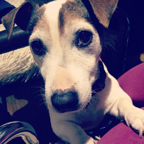#pop the #dog #jackrussel #cute #small (at Bryn)