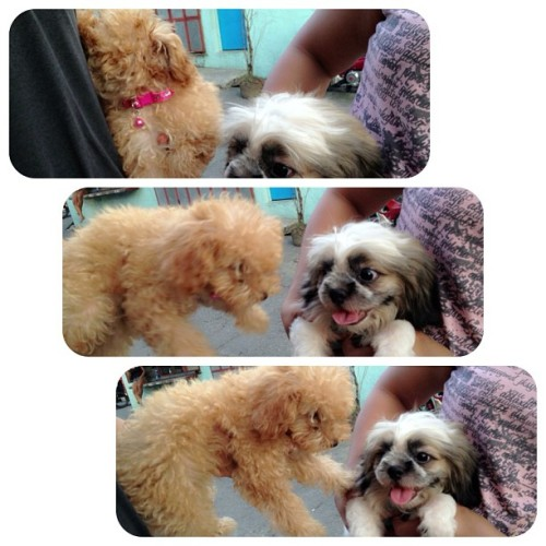 My babygirl's playmate/ puppy love. Chanel & Champ.❤ QTP2T. #puppies #dogs #babydogs #love #puppylove #toypoodle #shihtzu #poodle