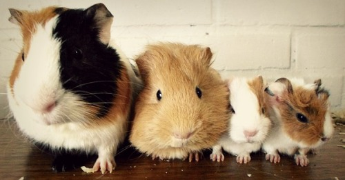 guineapiggies:  Submitted by ineed-escape