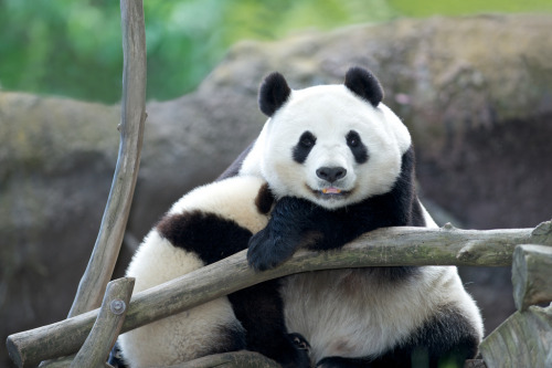 giantpandaphotos:  Bai Yun with her son Xiao Liwu at the San Diego Zoo on May 9, 2013. © Rita Petita.