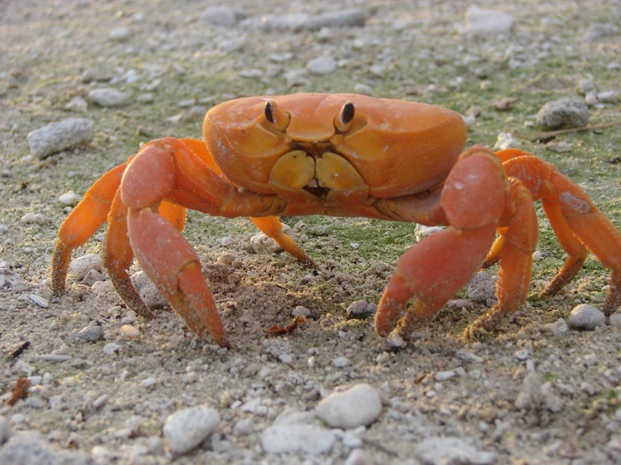 This crab, Johngarthia planata, is one of the few animals that live on Clipperton Island. Their population is estimated to be around 11 million, which translates to about 6 crabs per every square meter on this tiny island.