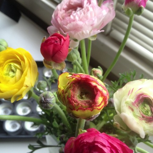 I love me some ranunculus in the morning. #flowers #springtime #tjs #love