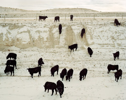 benjaminrasmussen:  Steers coming to feed. Chugwater, WY (2012)