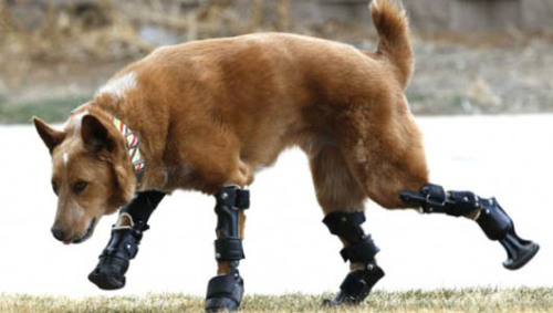 'Bionic dog' walks on 4 prosthetic paws      Nakio lost his paws to frostbite as a puppy, but thanks to his bionic limbs, he gets around just fine.