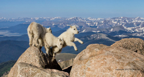 Mountain Goat kids Jumping by Tin Man
