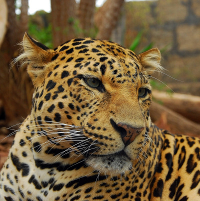 llbwwb:  Jaguar (Panthera onca) (by Steve Liptrot Photography)