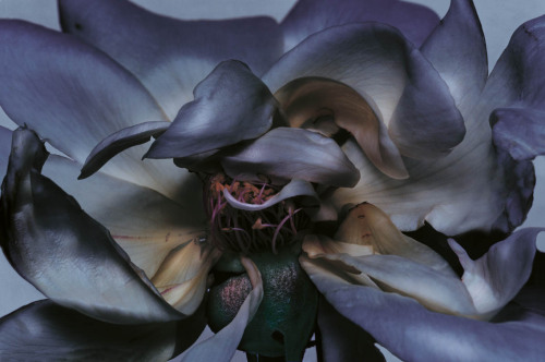 voltra:  Nick Knight, Rose, 2000