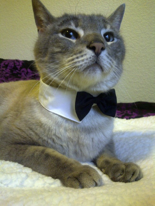 fuckyeahcats:  Samson the Aristocat.