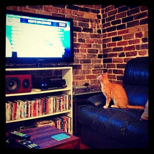 Norman loves watching the AFL footy show. #cat #cats #catsarethebest #mycatishuman #mycatisthebest #gingercat #weeklyfluff #ginger #bloodyloveyou #catsofinstagram #kawaii #kitty #orangecat #redcat #tabby #mycat #mylife #ilovemycat #afl #footy #thefootyshow (at Lilyfield)