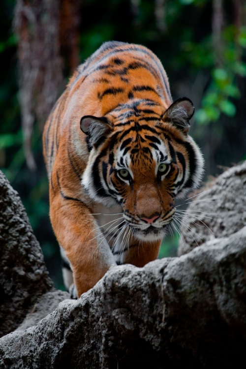 burning-soul:   Official San Diego Zoo