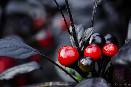 Black Leaves Red Berries
