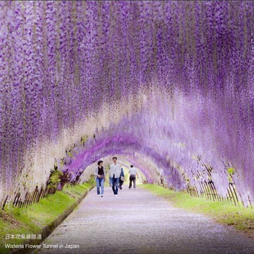 is this really true?.? I wanna go here!.! #wisteriaflowertunnel #japan #place #beautiful #wisteria #flower #tunnel #love #heaven #romantic