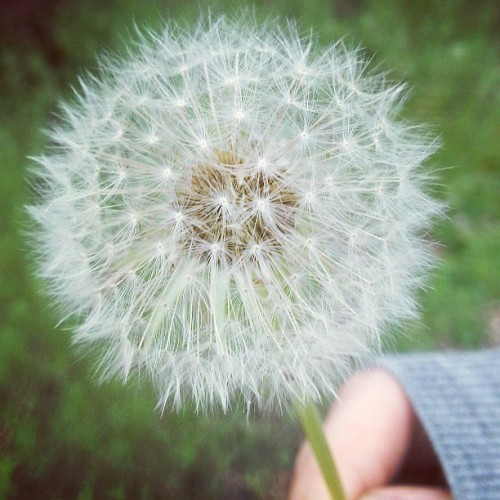 Dandy lions #nature #dandelion #grow #sphere #macro #focus #circle #myupload