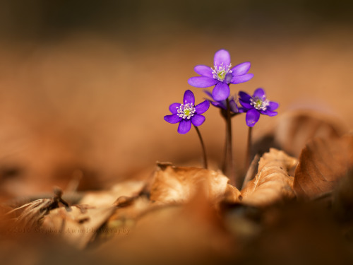 oculi-ds:  hepatica nobilis wallpaper by *mescamesh