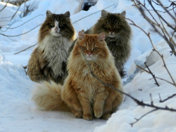 kialakazebee:  thepliablefoe:  Norwegian forest cats are the fucking best.  Omgahhhhh  They're. So. FLUFFY!