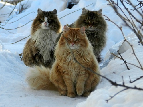vulgarweed:  thepliablefoe:  Norwegian forest cats are the fucking best.  I bet they're in a black metal band.     Oh they're so pretty! I like the one with the patchy face best.