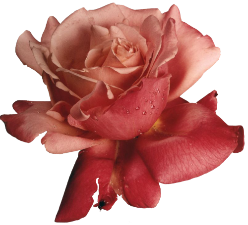 transparent-flowers:  transparent-flowers:  Hybrid tea rose. Photograph by Irving Penn.