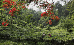 Savoring India's tea trails