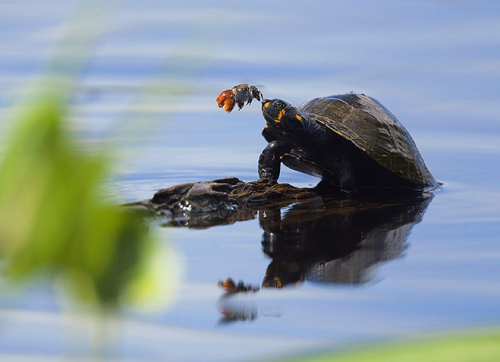 ecocides:  A solitary bee drinks the tears from a yellow-spotted river turtle in Yasuní national park, Ecuador. The endangered yellow-spotted river turtle cannot easily brush them away while the solitary bee needs the sodium. The unusual interaction, believed to be the first time seen between these two animals, was captured by Dr Oliver Dangles | image by Olivier Dangles
