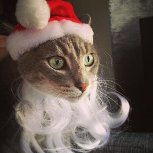 Karma Claus says Merry Meowmas! #karmakitty #holidaypetphoto #lolcat