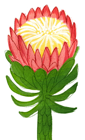 Protea flower for you on May Day.