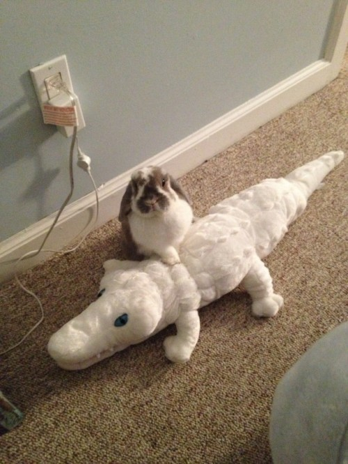 dailybunny:  Crocodile Hunter Bunny Has Subdued a Great White Croc! Thanks, Casey!